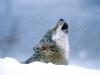 wolf-37