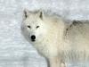 wolf-39