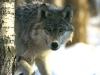 wolf-41