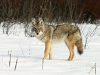 wolf-45
