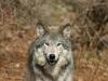 wolf-47