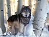 wolf-50