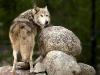 wolf-52